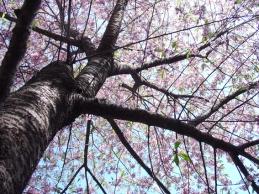 cerejeira1.jpg