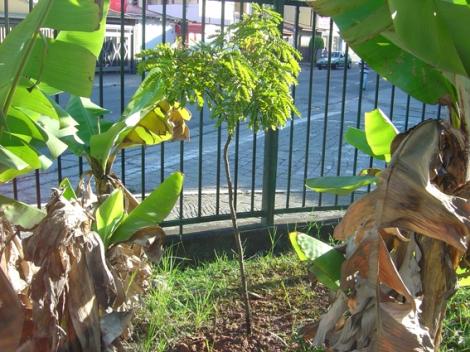 local onde o pau-brasil foi plantado próximo do trabalho de Olympia, onde ela pode cuidar e sempre verificar se está tudo bem com a árvore