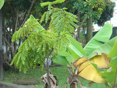 pau-brasil plantado e se recuperando graças a Olympia que o salvou do esquecimento