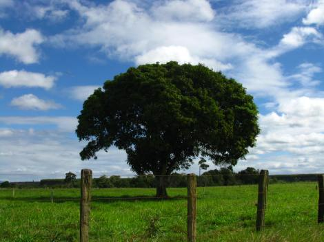 """""""Perdido nas estradas na Bahia me deparei com esta majestosa mangueira em um dos vastos campos pelos quais passei. Imperdivel uma viagem de carro pela Bahia em meio sua natureza!"""" - Jorge Rodrigues"""