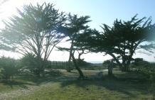 árvore califórnia 2