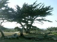 árvore califórnia
