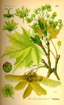 ilustra botânica