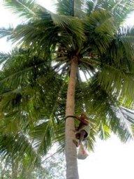 escalando o coqueiro