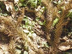 textura folhas araucária