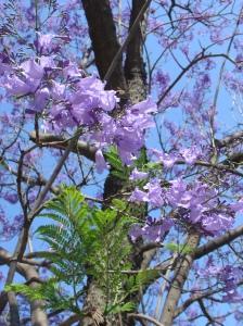 flor, folha e tronco jacarandá