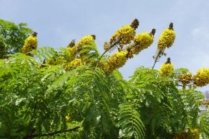 flores sibipiruna