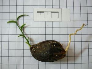 germinando-sapucaia
