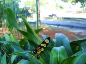 uma das várias borboletas que habitam o canteiro central das marginais - foto Luciano Ogura