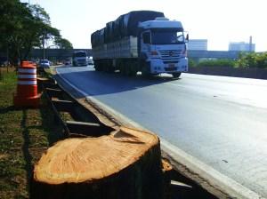 mais uma árvore decepada na Marginal Tietê - menos sombra e vida para os nossos motoristas congestionados! - foto Luciano Ogura