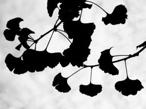 folhas de Ginkgo biloba localizado na Rua Bela Cintra em São Paulo - Foto de Luciano Ogura