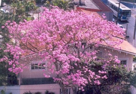 ipê-roxo com sua espetacular floração em junho - sempre muito sábio!