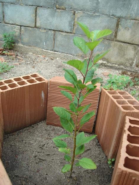 mudinha de macieira que Manoel cuidade desde a semente