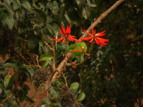 Periquito com flor de eritrina no bico, próximo dos frutos de um alfeneiro - foto de Leda Maria Lucas