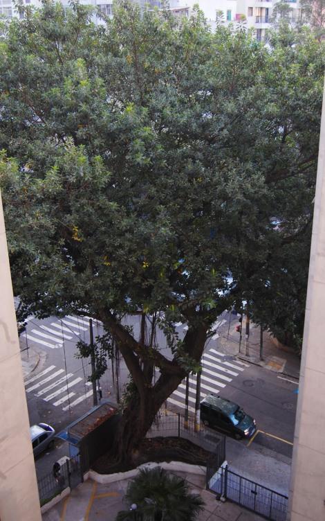 falsa-seringueira (Ficus elastica) / Um olhar pela janela - foto de Daniela Figueiredo