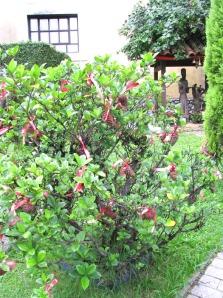arbusto de Gardenia jasminoide com enfeites de pinha e laços cor de vinho... linda combinação!