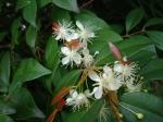 Flores de Pitanga - foto Caren Harayama