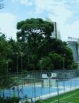 jequitibá-rosa - guardião do Parque da Aclimação
