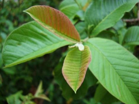 folhas de goiabeira - foto de Luciano Ogura