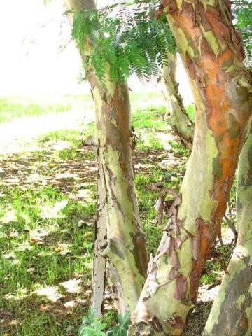 textura do tronco de uma goiabeira no Memorial da América Latina - foto Juliana Gatti Pereira