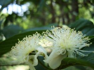 Flor da Goiabeira - Parque da Aclimação - Foto por Luciano Ogura