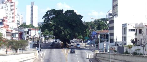 Figueira (Ficus microcarpa) plantada no canterio central da Av Pacaembu