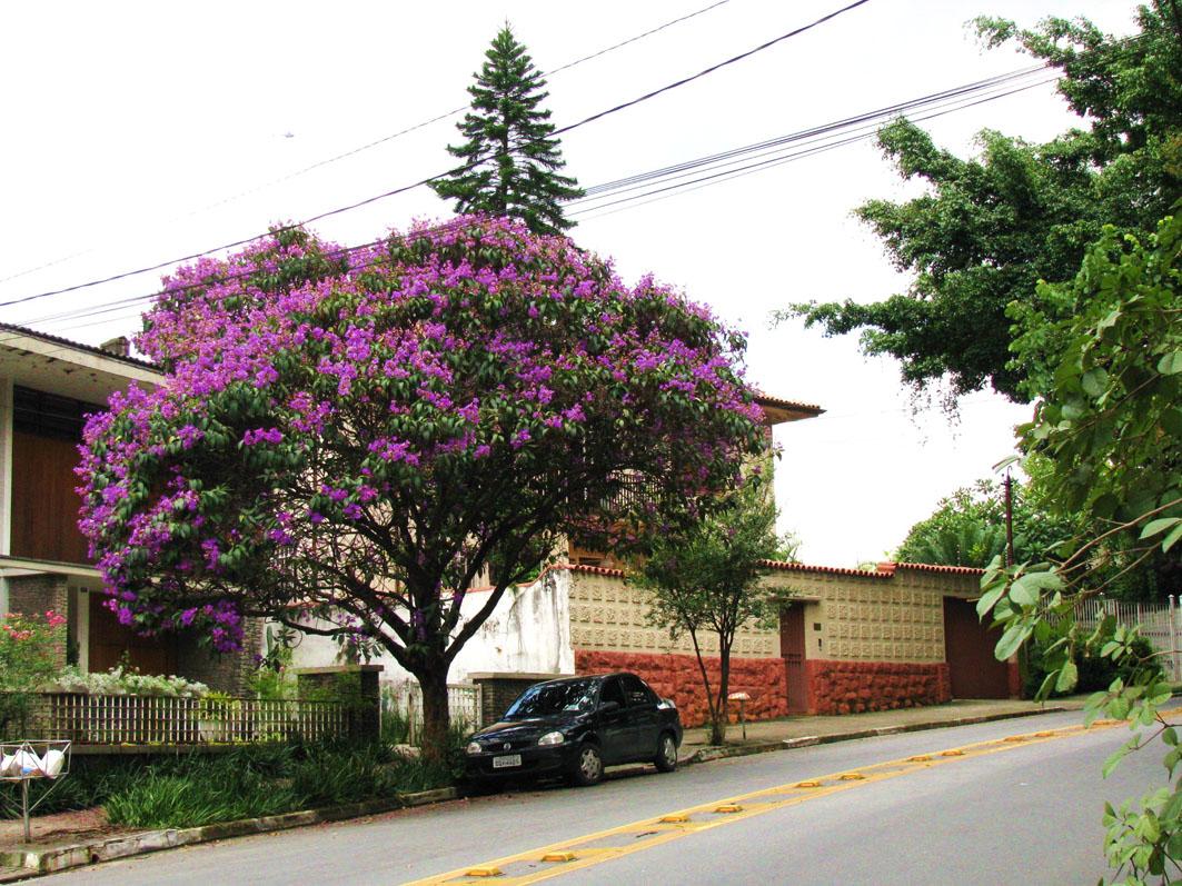 arvore manaca jardim:Árvore certa, lugar certo