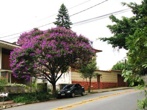 Quaresmeira (Tibouchina granulosa) - plantada em calçada sob fiação elétrica.  Ótima opção de árvore paulistana!