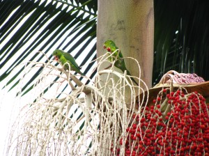 maritacas saboreiam jovens frutos de uma palmeira seafórtia, promovendo a dispersão desta espécies de palmeira invasora de nossas matas remanescentes