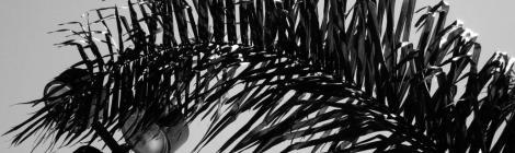 folha de jerivá - foto de Luciano Ogura