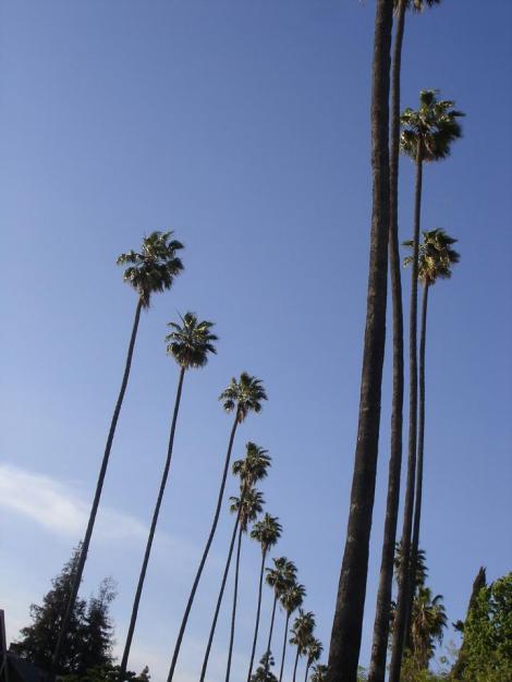 palmeiras Washingtonia em Los Angeles - foto Carol Enguetsu Lefevre