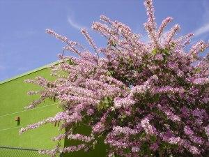 floração de primaveras em Los Angeles - foto Carol Enguetsu Lefevre