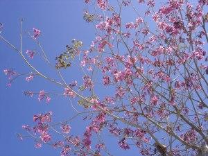 floração de ipês em Los Angeles - foto Carol Enguetsu Lefevre