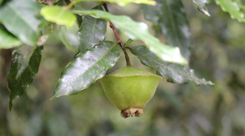 Você conhece e planta árvores frutíferas nativas?